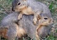 Des habitants d'Ottawa expulsent leurs écureuils vers le Québec