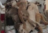 La Société Protectrice des Animaux condamne la cruauté avec laquelle les chiens sont tués