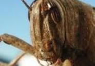 Jedliane : Les agriculteurs appellent le Gouvernement à contrer l'invasion des sauterelles