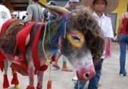 Les ânes marocains réduisent de nombre à cause de la migration vers l'Europe