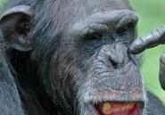 Le Chimpanzé agité !
