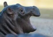 Afrique du Sud: fin de cavale pour un hippopotame