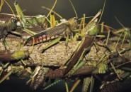 Crise malgache : Quand les criquets s'en mêlent