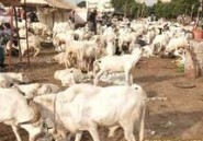 Tabaski 2013 : une organisation d'éleveurs promet d'aider à rendre le mouton accessible