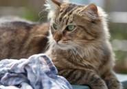 Norris, un chat voleur de sous-vêtements féminins chez les voisins