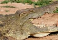 Australie: le corps d'un homme happé par un crocodile a été retrouvé