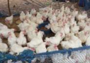 Hausse des prix au Maroc : Après le lait, la volaille ?