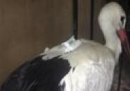 """L'oiseau """"espion"""" arrêté en Egypte est une cigogne française"""