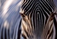 Un zoo anglais bannit les habits aux imprimés léopard et zèbre
