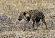 Une jeune hyène capturée dans un faubourg de Johannesburg