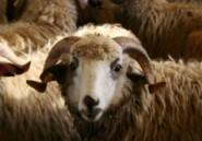 Les moutons marocains dans les souks algériens