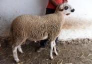 A l'occasion de l'Aid Al Adha, le e-mouton débarque !