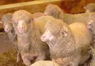 Les tunisiens se bousculent pour acheter les moutons espagnols
