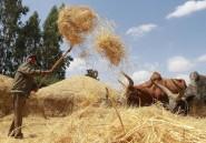 Le teff, céréale sacrée d'Ethiopie, aliment en or pour l'export?