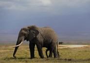 Les éléphants détectent les prédateurs humains au son de leur voix