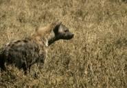 Une hyène dévore le pénis d'un homme en Zambie