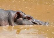 Afrique du Sud: une camionnette écrase 10 villageois qui dépeçaient un hippopotame