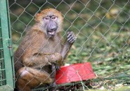 Ebola: les singes de compagnie indésirables en Côte d'Ivoire