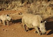 La Namibie décorne ses rhinocéros noirs pour prévenir le braconnage