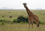 Kenya: le parc national de Nairobi, asphyxié par la croissance de la ville