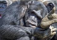 Des chimpanzés consomment de l'alcool jusqu'à être ivres