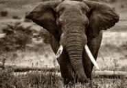 Des tests ADN localisent avec précision d'où viennent les éléphants tués par les braconniers
