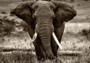 La Chine achète 20 éléphants au Zimbabwe et déclenche la polémique