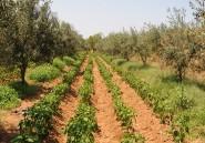 Les oliveraies tunisiennes, un «or vert» menacé par le réchauffement climatique