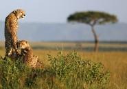 Avant de peupler l'Afrique, les guépards vivaient en Amérique du Nord