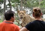Côte d'Ivoire: avec ses nouveaux lions, le zoo d'Abidjan revit