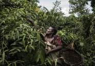La fleur d'ylang ylang, or des Comores et reine des parfumeurs