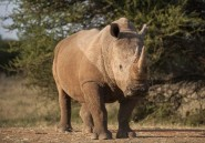 Afrique du Sud: 4 braconniers de rhinocéros condamnés