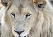 La Zambie réautorise la chasse aux lions et aux léopards