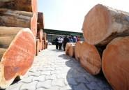 Au Gabon, le bois sacré Kevazingo cible des trafiquants