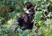 Malgré la guerre, volcan et gorilles font revenir les touristes dans l'est du Congo