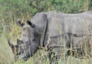 Afrique du Sud: deux braconniers de rhinocéros condamnés