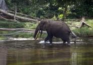 RDC: quatre fonctionnaires tués en luttant contre le braconnage d'éléphants