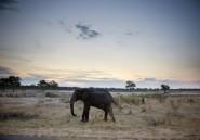 Zimbabwe: la chasse de l'éléphant de plus de 50 ans par un touriste était légale