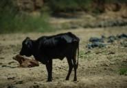En Afrique du Sud, la pire sécheresse de ces 30 dernières années décime le bétail