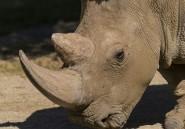 Mort au zoo de San Diego d'un des quatre derniers rhinocéros blancs du Nord