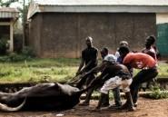 Centrafrique: des abattoirs improvisés face
