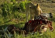 Des lions stars de la télé empoisonnés au Kenya
