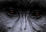 PHOTOS. Les derniers gorilles luttent pour leur survie dans l'est du Congo