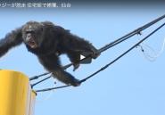 Regardez ce singe qui a semé la pagaille au Japon en s'agrippant à des câbles téléphoniques
