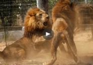 VIDEO. Des lions de cirque commencent leur nouvelle vie dans la savane africaine