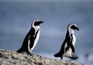 Un léopard tueur de rares pingouins africains lève un débat sur la protection de la nature