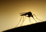 Chez les moustiques, le danger est dans la salive