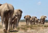 Comment le braconnage change l'anatomie des éléphants
