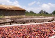 Au Kenya, les cultivateurs de café sont la cible de groupes mafieux