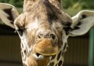 Les girafes, ces «gentils géants» menacés d'extinction
